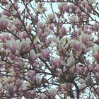 Heesters - Magnolia, Rododendron en Sering