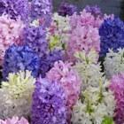 Bloembollen - blauwe druifje, hyacint en iris