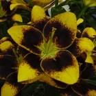 Bloembollen - amaryllis, cyclaam en lelie