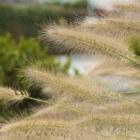 Grassen in de tuin, standplaats volgens kleur en vorm