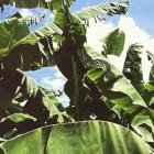 Bananenplant in de tuin: plaats, groei en overwinteren