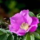 Botanische rozen, wilde rozen of bottelrozen