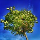 Het planten van bomen of heesters met kale wortels of kluit
