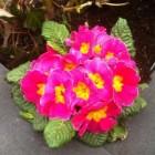 Primula: een vrolijke voorjaarsbloeier (binnen en buiten)