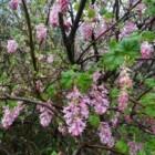 Rode Ribes � Ribes sanguineum; roze bloeiende sierheester