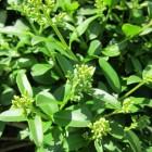 De Liguster in de tuin: stekken en verzorgen