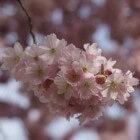 Zoete kersenboom in de moestuin