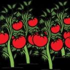 Het telen van tomaten