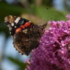 Een vlinderstruik eenvoudig stekken