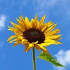 Hoe kan ik het beste zonnebloemen zaaien?