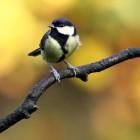 Welke vogelsoorten kan men in tuinen aantreffen?