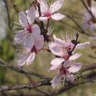 Boom voor de kleine tuin: Prunus cerasifera 'Nigra'