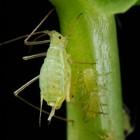 Hoe kan ik effectief bladluis bestrijden?