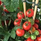 Hoe verzorg ik een tomatenplant?