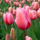 Tulpen: De geschiedenis van de tulp en bekende soorten
