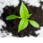 Hoe kun je planten vegetatief vermeerderen door afleggen?