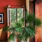 De trachycarpus latisectus: een palm voor in de tuin