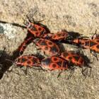 De vuurwants, een onschadelijk insect