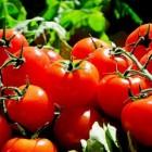 Zelf tomaten, paprika's en komkommers kweken