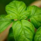Kruiden: basilicum kweken