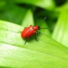 Leliehaantje, mooi maar vernietigend insect