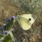 Het scheefbloemwitje: kenmerken t.o.v. andere witte vlinders