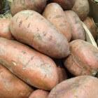 Teelt van de zoete aardappel