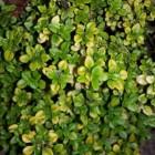 Kruiden: thijm of thymus vulgaris