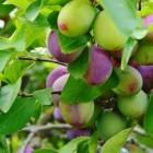 Pruimen: soorten, aanplant, verzorging & snoeien van de boom