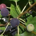 Vijg: soorten, aanplant, verzorging en snoeien van de boom