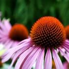 Herfstbloeiende vaste planten