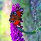 Herfstbloeiende struiken: Buddleja of vlinderstruik