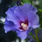Herfstbloeiende struiken: Hibiscus of altheastruik