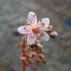 Saxifraga urbium, ook wel bekend als schildersverdriet