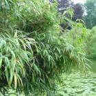 Bamboe: er zijn ook mooie en niet woekerende soorten