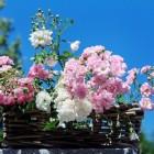 De rozentuin of rozen in de tuin