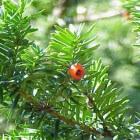 Giftige planten en struiken in de tuin