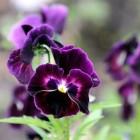 Winterbloeiende vaste planten