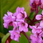 Voorjaarsbloeiende vaste planten