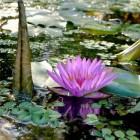 Vijver in de tuin; geschikte waterplanten en waterlelies