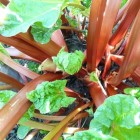 Rabarberplant in eigen tuin; erg lekker en nog sierlijk ook!