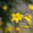 Winterjasmijn met haar prachtige gele bloemen