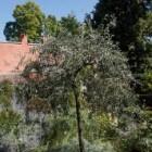 Zuilvormige bomen en treurbomen
