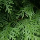 Naaldbomen en coniferen