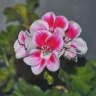 Geraniums en pelargoniums
