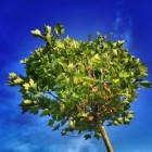 Verplanten van bomen en heesters