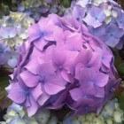 Hortensia snoeien, Hortensia onderhoud & tips