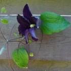 De clematis, een populaire klimplant