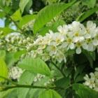 Het geslacht Prunus is heel omvangrijk