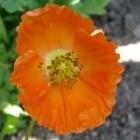 De papaver of klaproos brengt kleur in de tuin